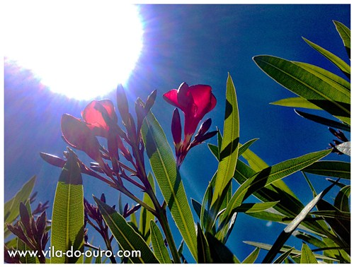First flowers of the Oleander